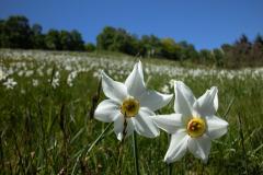Narcisi-im-Frühling