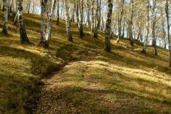 schmaler-Weg-durch-den-Birkenhain